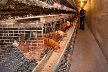 California Passes Historic Farm Animal Protections
